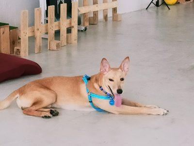 Behavioural Training for Dogs in Australia